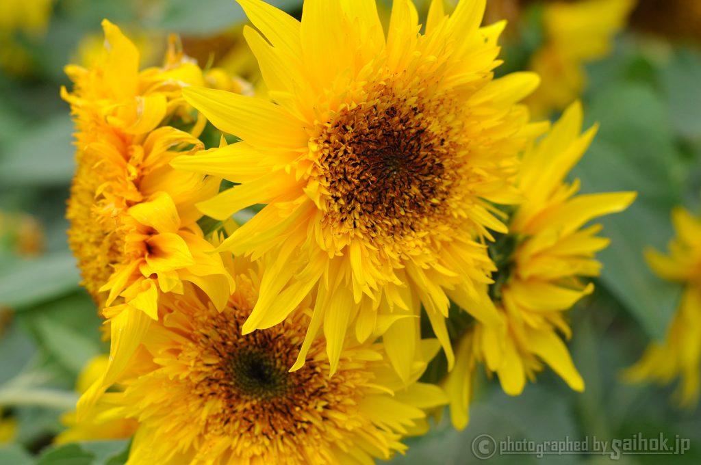 大地が黄色に染まる!ひまわり畑をめぐる名寄の夏
