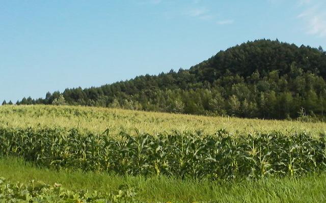 ピュアホワイト生育日記「収穫間近になりました♪」