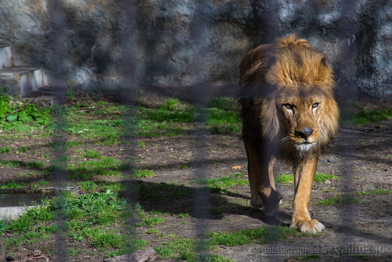 ゴールデンウィーク明けの旭山動物園(夏期開園)だ「ガォーッ!」