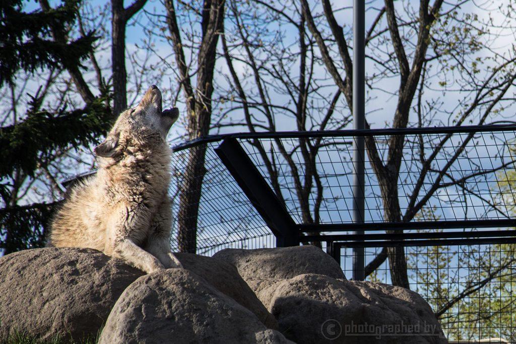 「アオーン!」初夏の旭山動物園(夏期営業中)はどうぶつ満開!