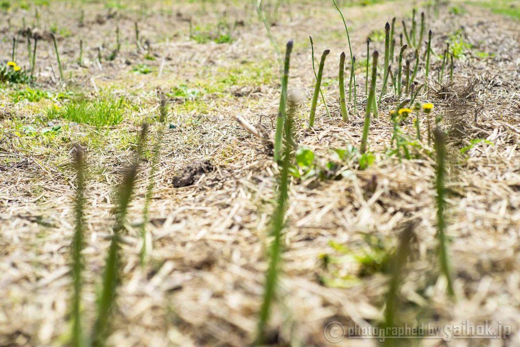 露地もののグリーンアスパラの収穫始まりました!