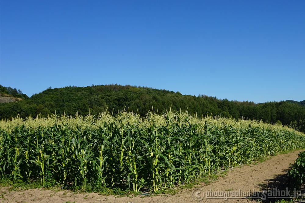 ピュアホワイト生育日記「もうすぐ収穫開始です!」