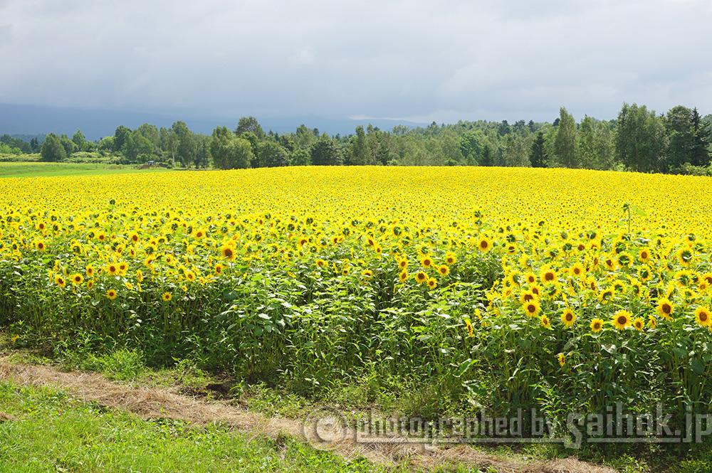 圧巻のひまわり畑!四季のお花でおもてなし「大雪森のガーデン」