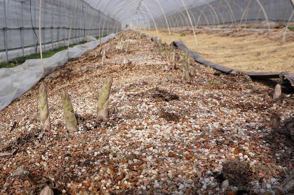 グリーンアスパラの芽が出てきました!2016