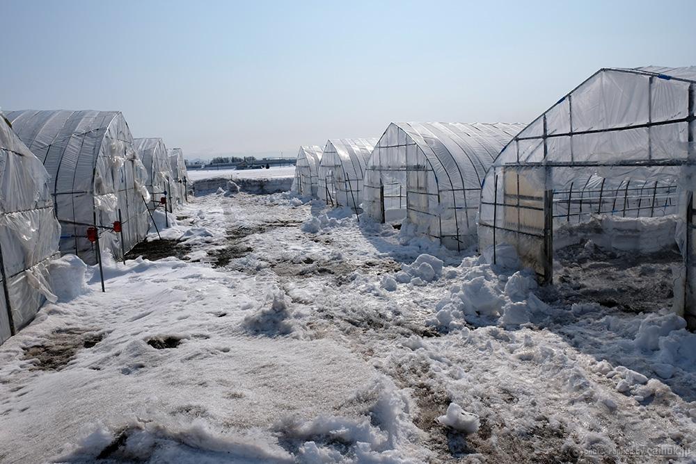 雪の中で準備中!北海道産グリーンアスパラの生育状況2017
