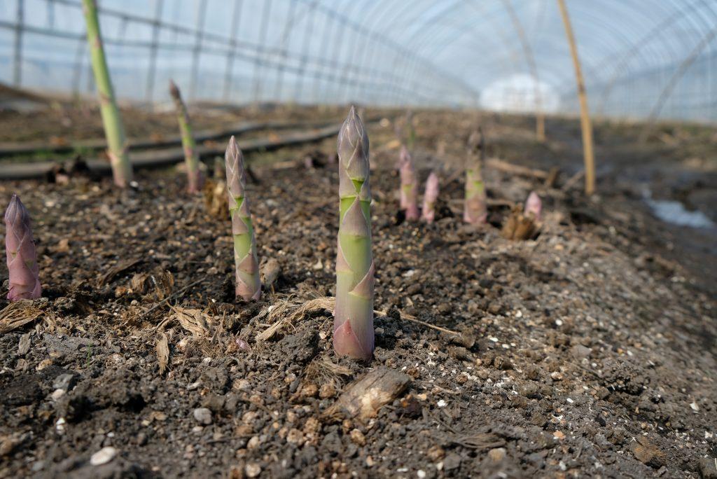 春の到来!北海道産グリーンアスパラの生育状況2017