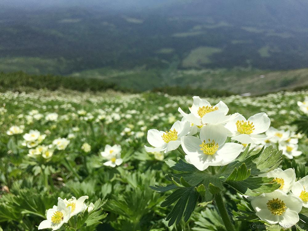 7月が見ごろ♪花が満開の富良野岳日帰り登山