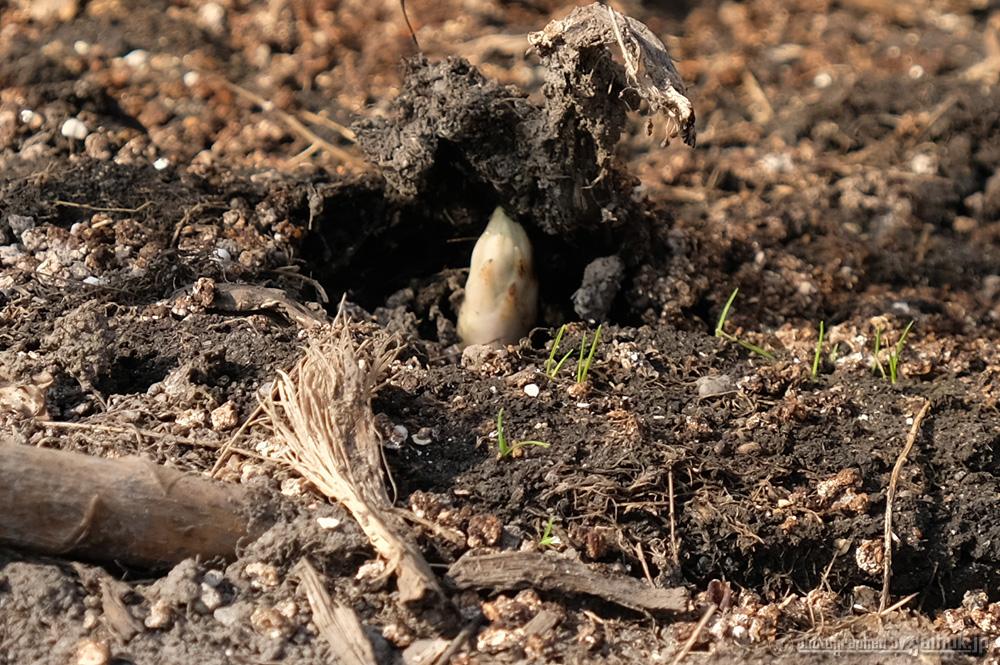グリーンアスパラの芽が顔を出しました