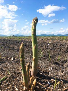 露地アスパラは収穫終盤、ハウス栽培のアスパラ準備中