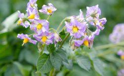 花満開のじゃがいも畑を探して「きたあかり育成日記」