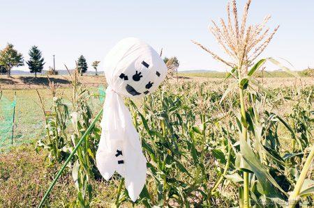 2019年もありがとうございました。白いとうもろこしピュアホワイトMIX収穫終了