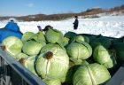 雪に埋めて美味しさ倍増!「元祖」和寒越冬キャベツが収穫真っ最中!