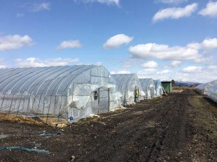 春の収穫開始!グリーンアスパラがすくすく育っています。