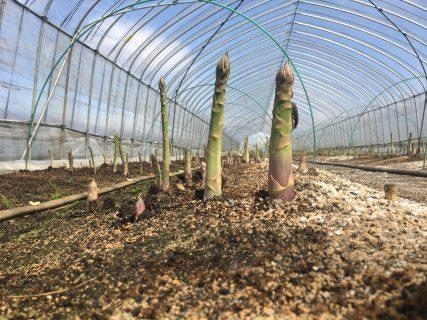 グリーンアスパラ、続々と収穫中です!