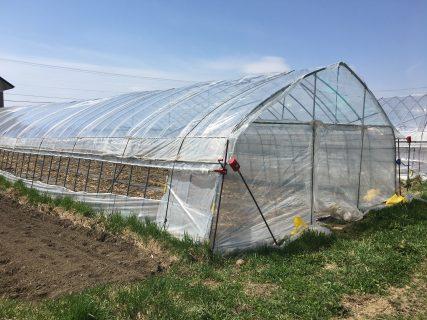 ハウス育ちの有機栽培ピュアホワイトの芽が出ました