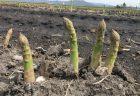 北海道産グリーンアスパラがすくすく育っています。
