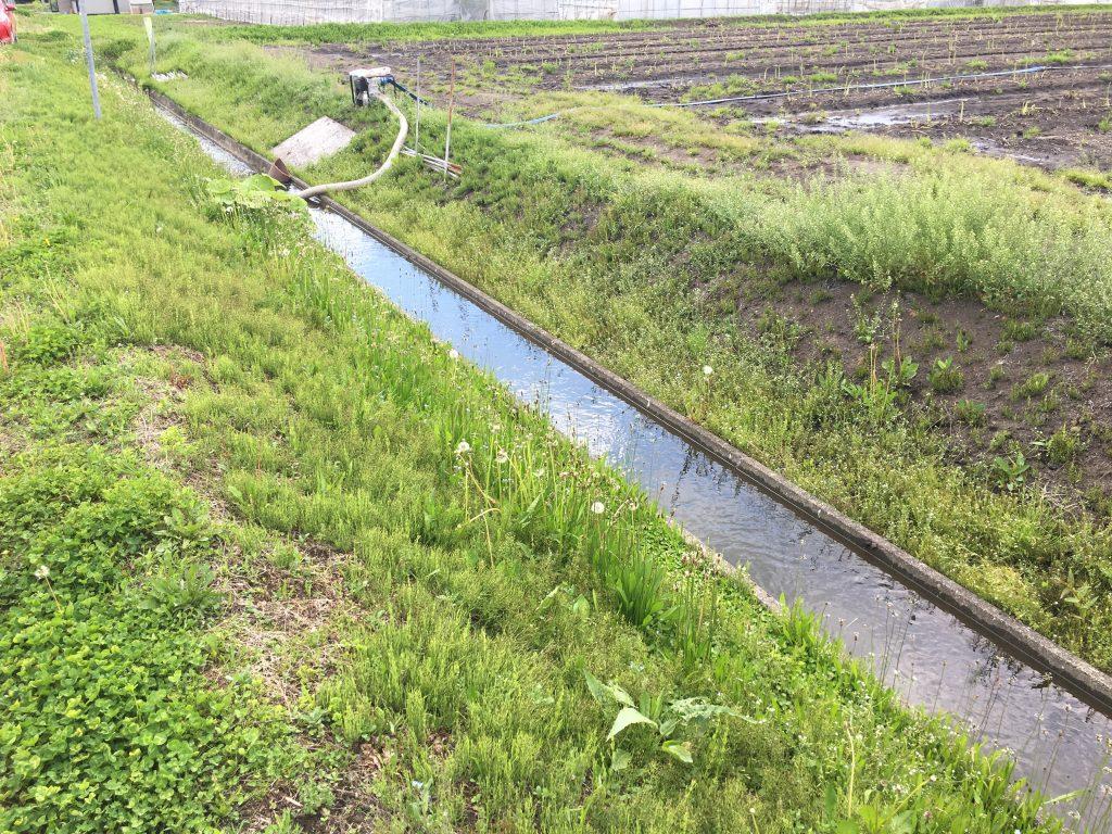 北海道グリーンアスパラが順調に生育中です。