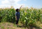 収穫スタートしました!有機栽培ピュアホワイト