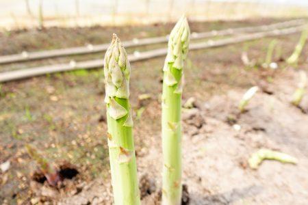 春採りグリーンアスパラの収穫が真っ最中です。