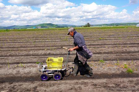 北海道産グリーンアスパラ収穫中!順調に出荷しています