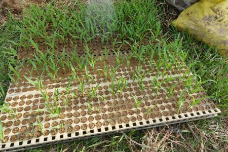 有機栽培ピュアホワイトの栽培が始まりました。