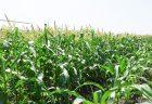 2021年、ハウス育ちの有機栽培ピュアホワイト収穫完了。今年もありがとうございました♪