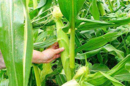 7月の北海道当麻町で育つピュアホワイト畑に行ってきました♪