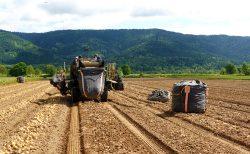 2021年きたあかり初収穫!~全国的な猛暑を乗り越えて~